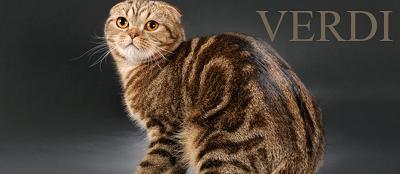 """Питомник кошек шотландской породы """"Vеrdi"""" Screen26"""