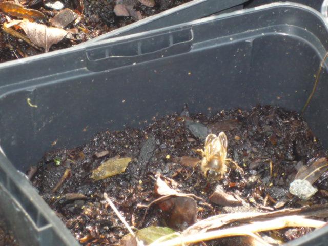Les auxiliaires du jardinier : l'abeille noire (Apis mellifera mellifera) P1020512