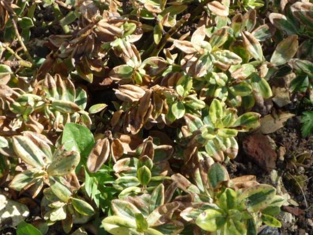 Hebe variegata - Véronique panachée P1020610
