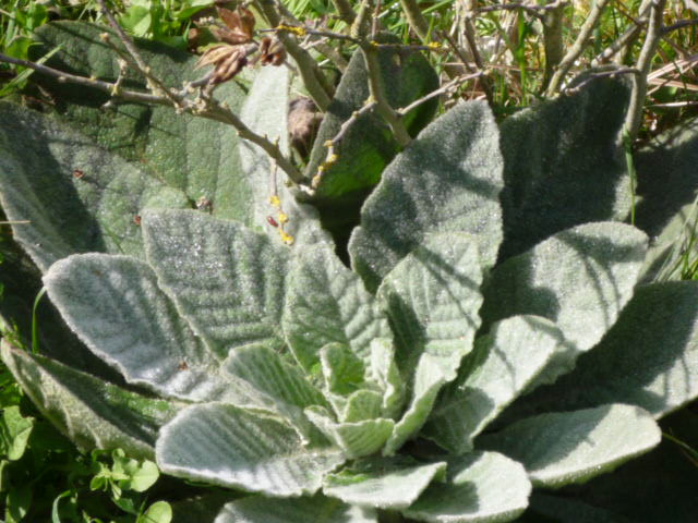 Plante de mon jardin P1020611