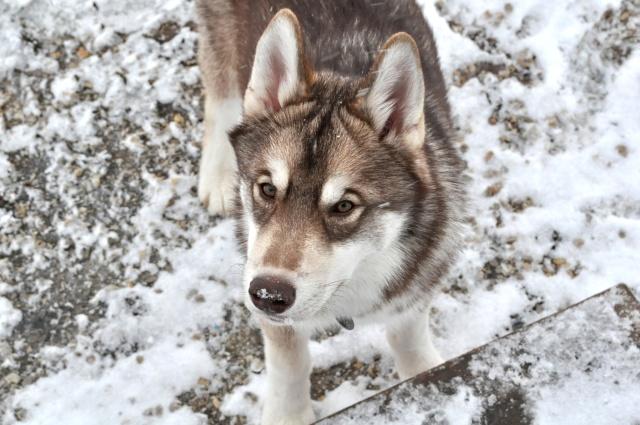 Suka Got Into the Bag of Dog Food!  Dogs_010