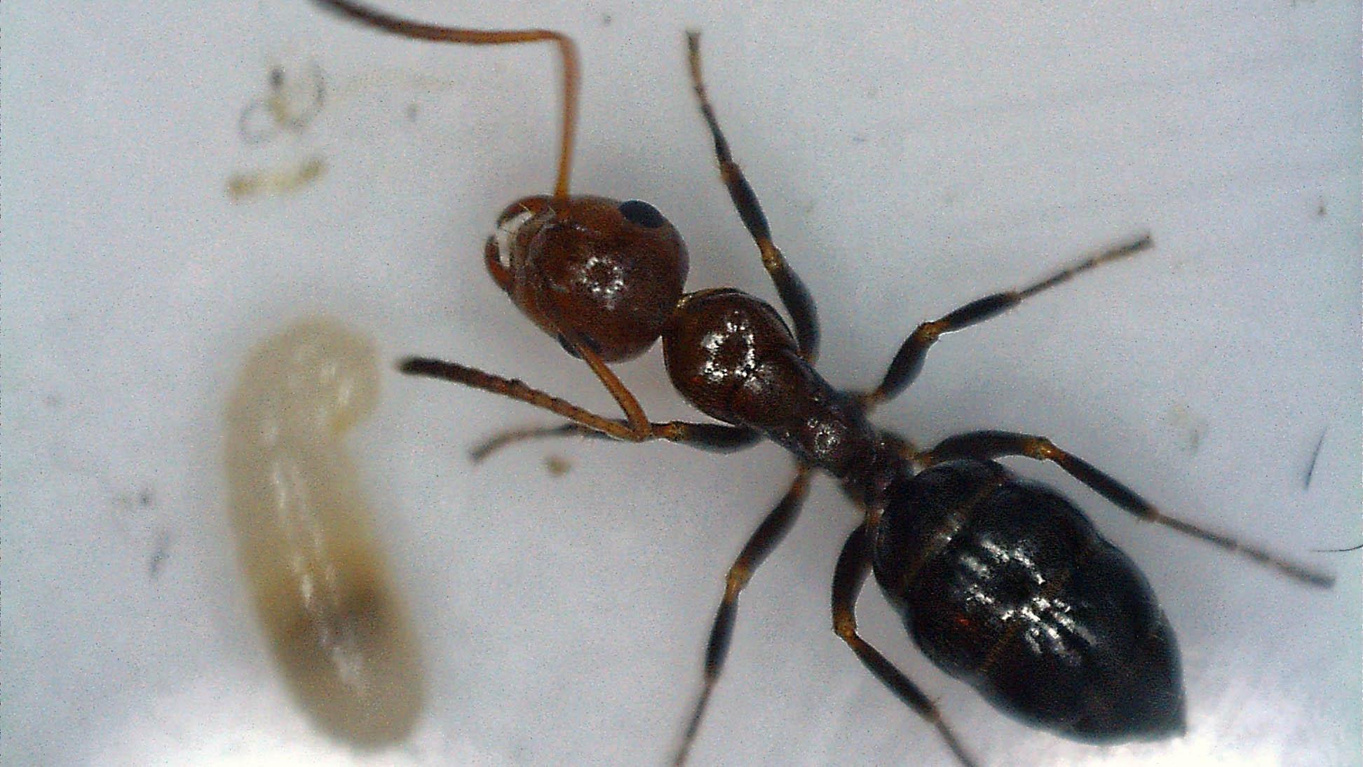 Fondation Camponotus  lateralis (†) 2016-022