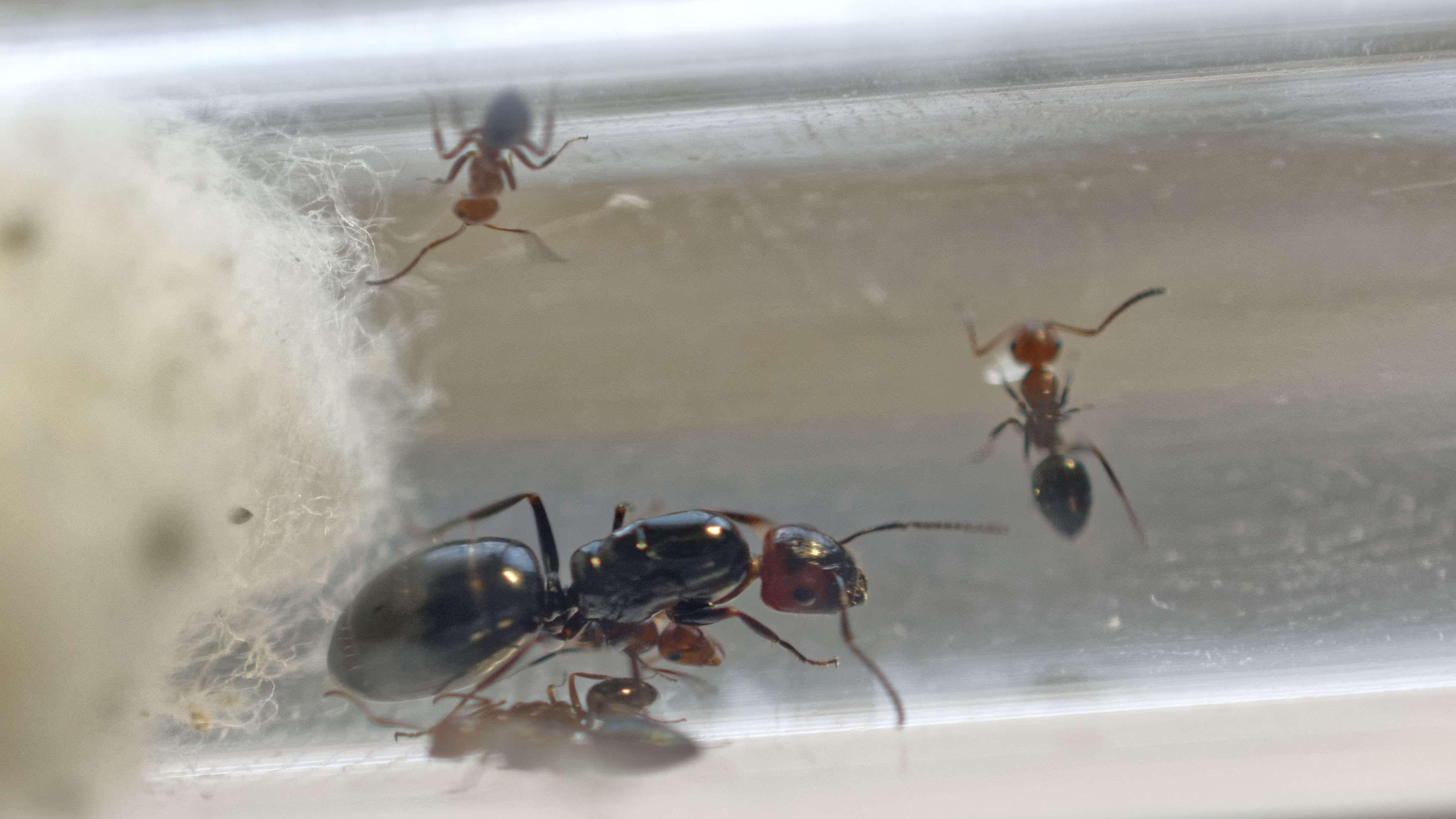Fondation Camponotus  lateralis (†) 2016-024