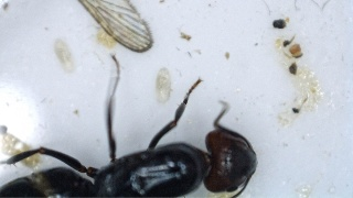 Fondation Camponotus  lateralis (†) 2016-045