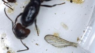Fondation Camponotus  lateralis (†) 2016-046