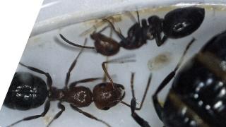 Fondation Camponotus  lateralis (†) 2016-047
