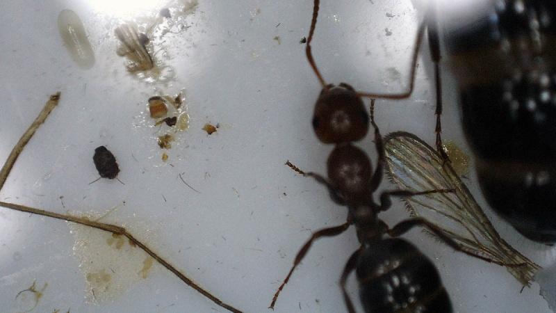 Fondation Camponotus  lateralis (†) 2016-054