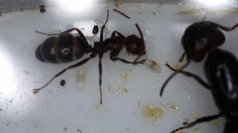 Fondation Camponotus  lateralis (†) 2016-057