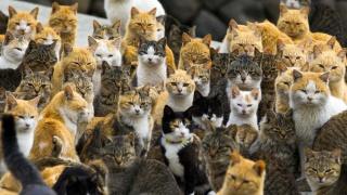 Au Japon: L'île aux  chats , l'île aux lapins, l'île aux renards   .... Aoshim10