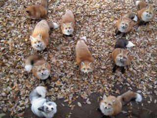 Au Japon: L'île aux  chats , l'île aux lapins, l'île aux renards   .... Zao-fo10
