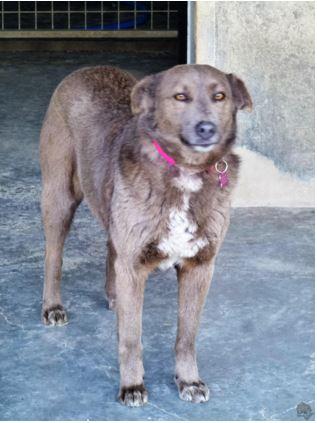 GREY, née en 2007 - (Alina) - Adoptée la SPA Sud Alpine Grey210
