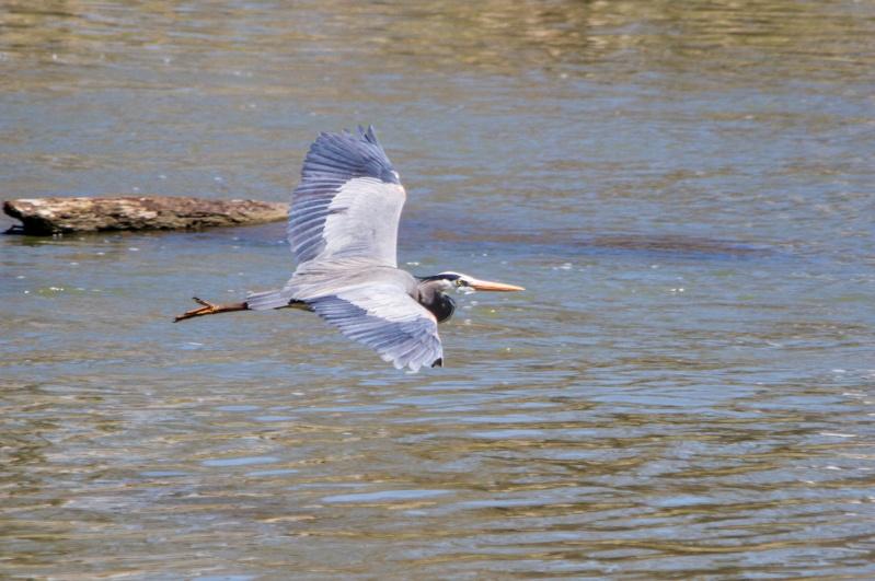 grand heron  04910