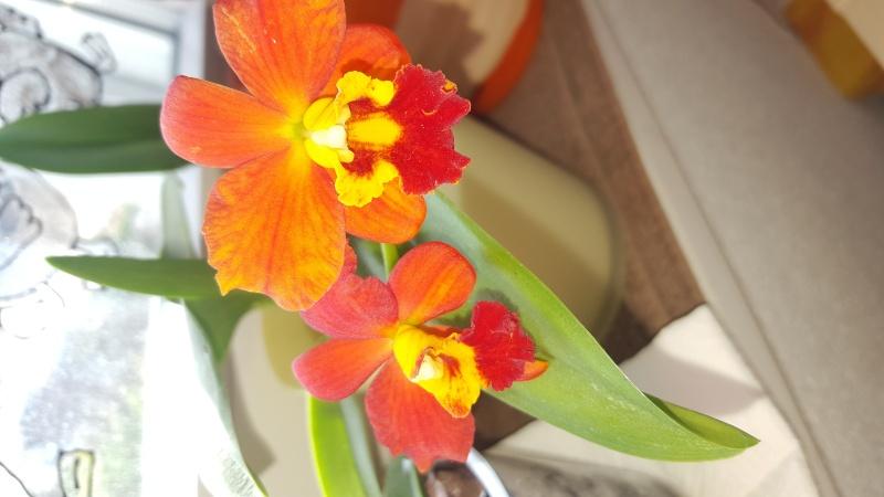 Meine Orchideen blühen  20151110