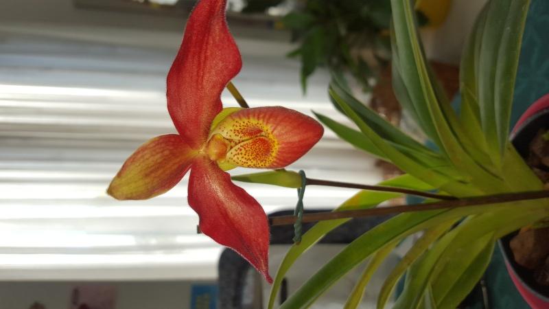 Meine Orchideen blühen  20151112
