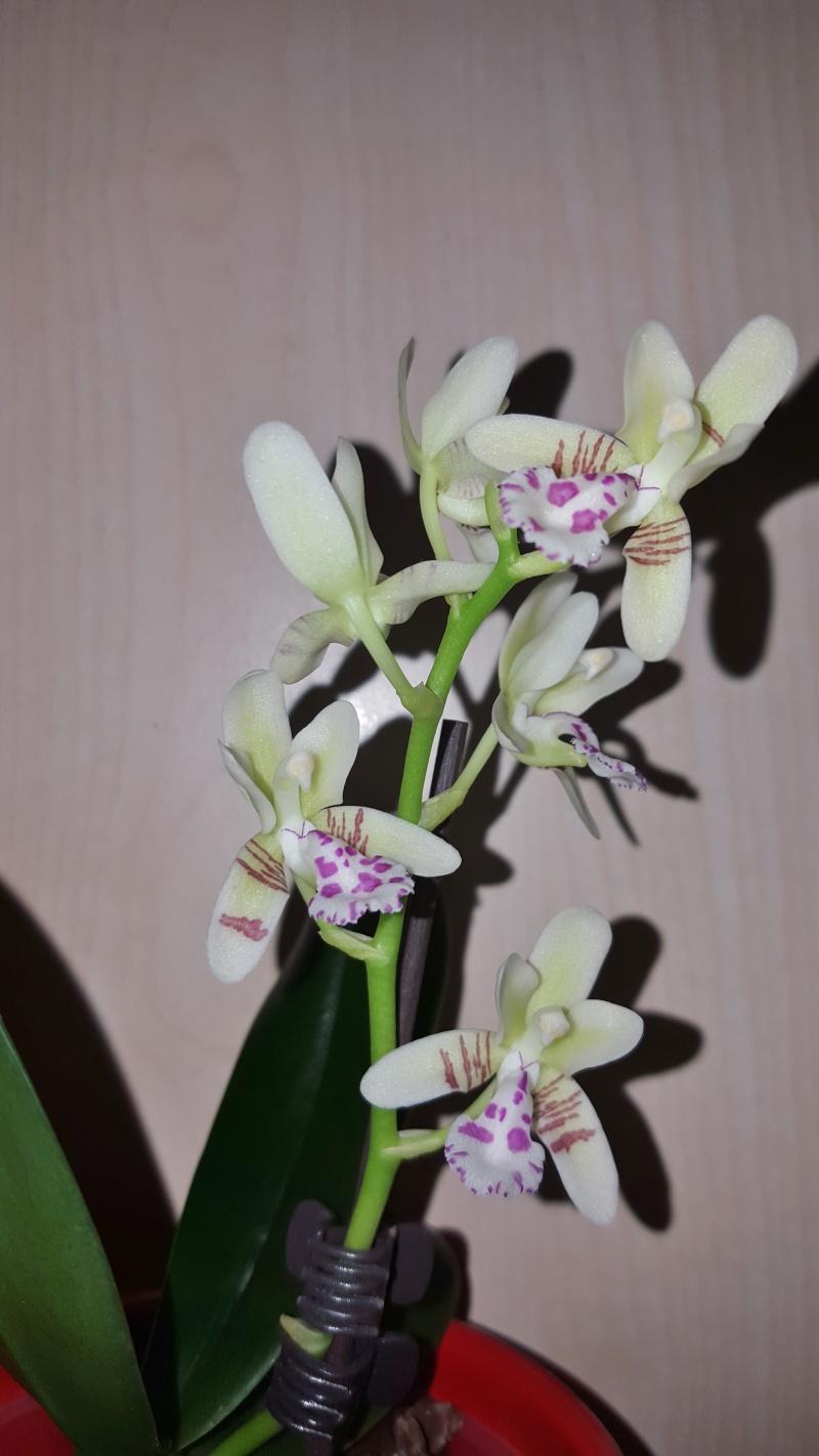 Meine Orchideen blühen  20160310
