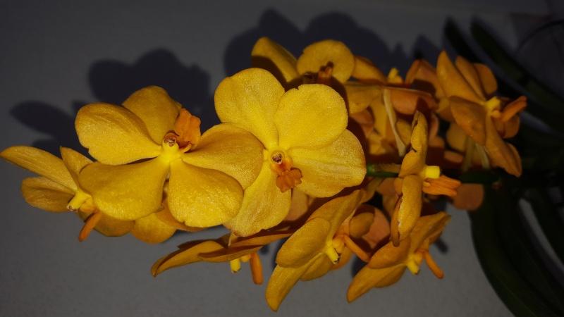 Meine Orchideen blühen  20160311