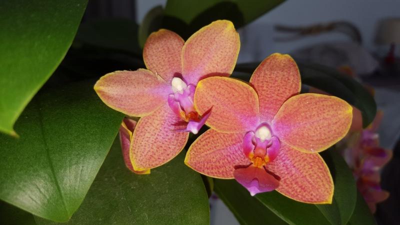 Meine Orchideen blühen  20160314