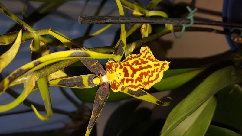 Meine Orchideen blühen  20160410