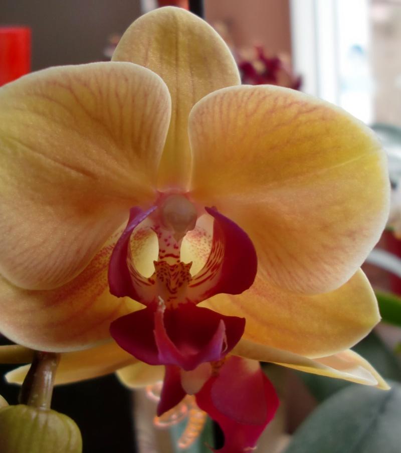 Meine Orchideen blühen  Cimg7310