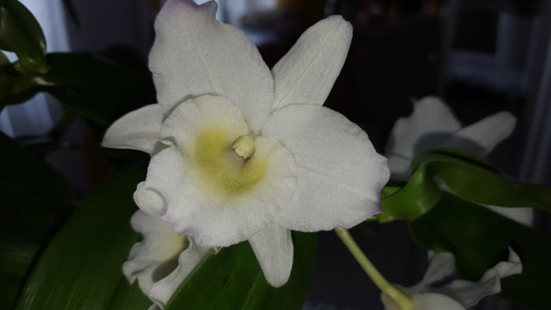 Meine Orchideen blühen  Dendro10