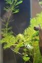 algues filamenteuses? Dsc_0114