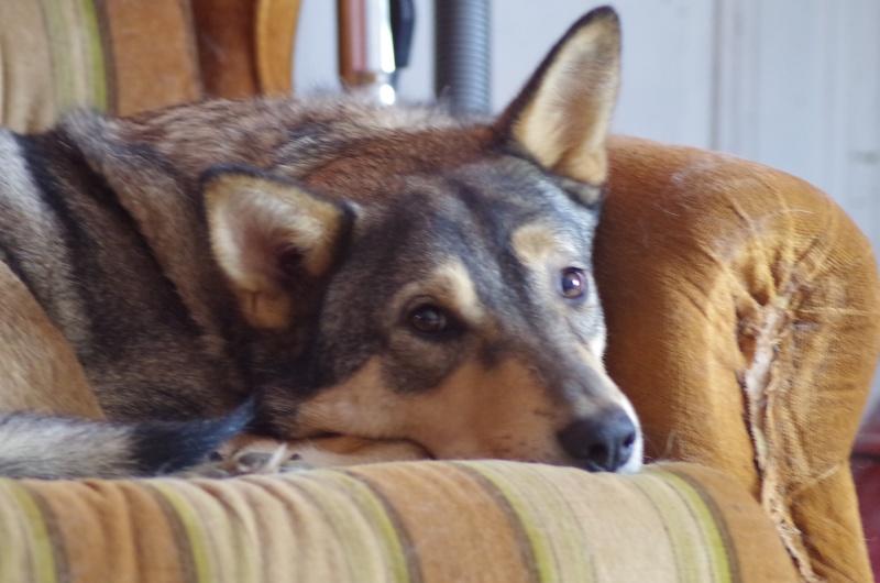 Migou, croisé Husky taille moyenne 2/3 ans. Roumanie  Migou10