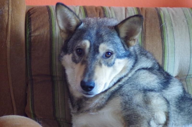 Migou, croisé Husky taille moyenne 2/3 ans. Roumanie  Migou210