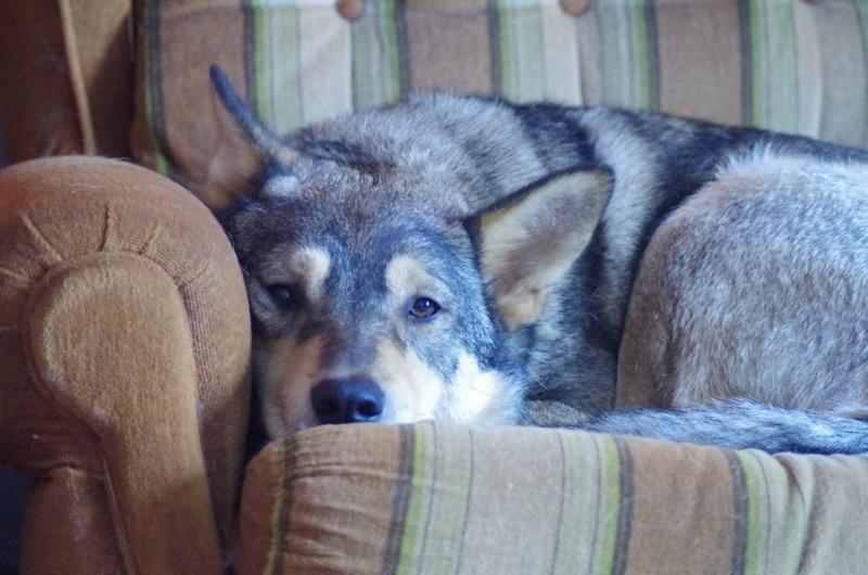 Migou, croisé Husky taille moyenne 2/3 ans. Roumanie  Migou310