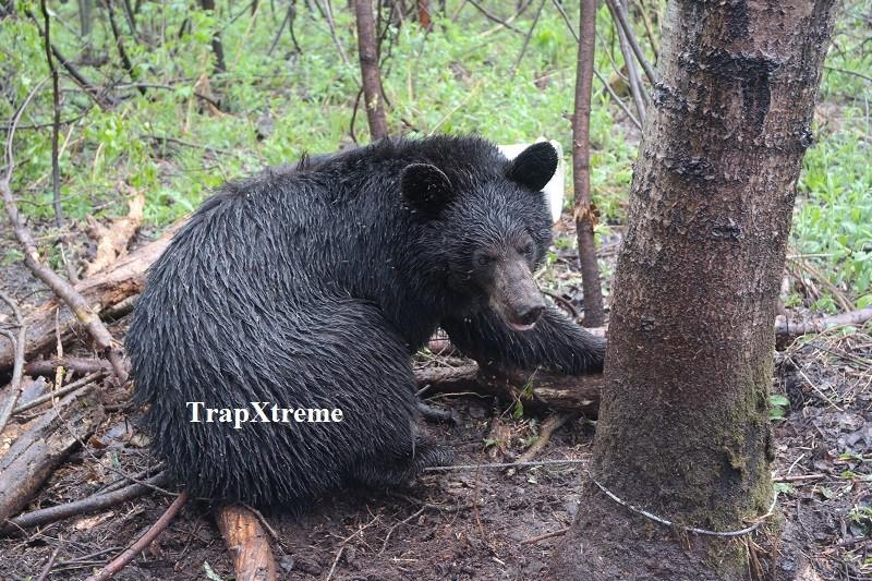 Notre 2ème ours de la saison avec le piège Fournier. Ours_210