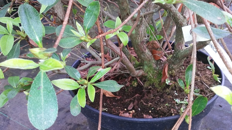 Azalea japonica 20160413