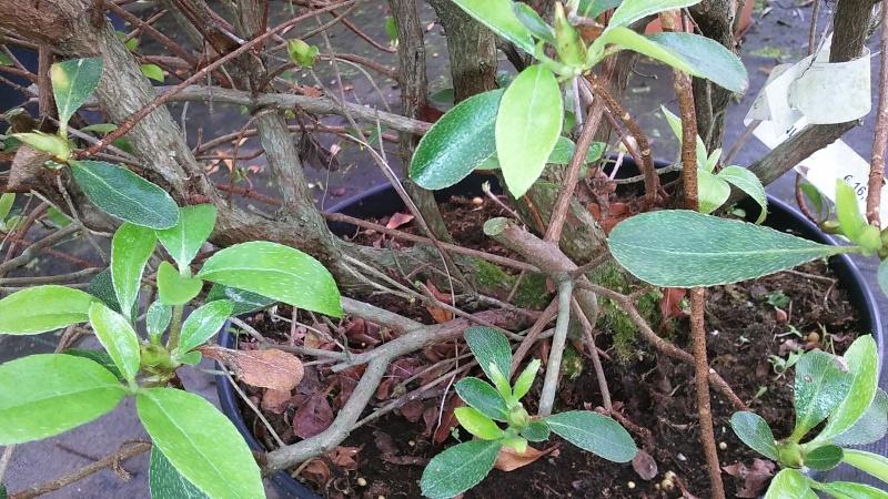 Azalea japonica 20160414