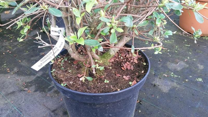Azalea japonica 20160415