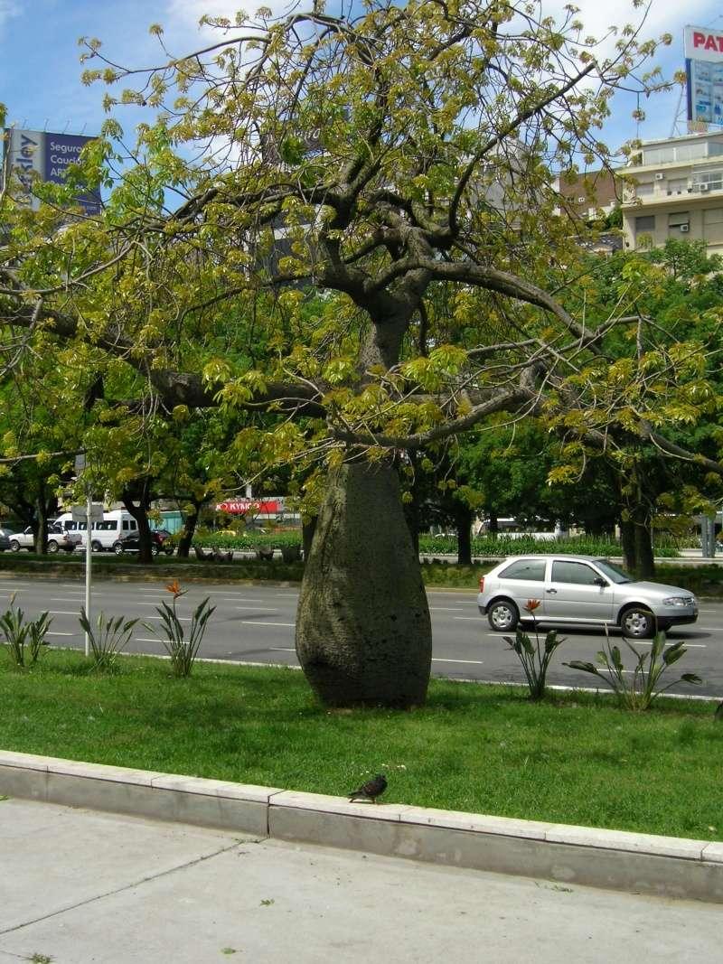 Le beau tronc de mon Chorisia speciosa  - Page 4 100_1610