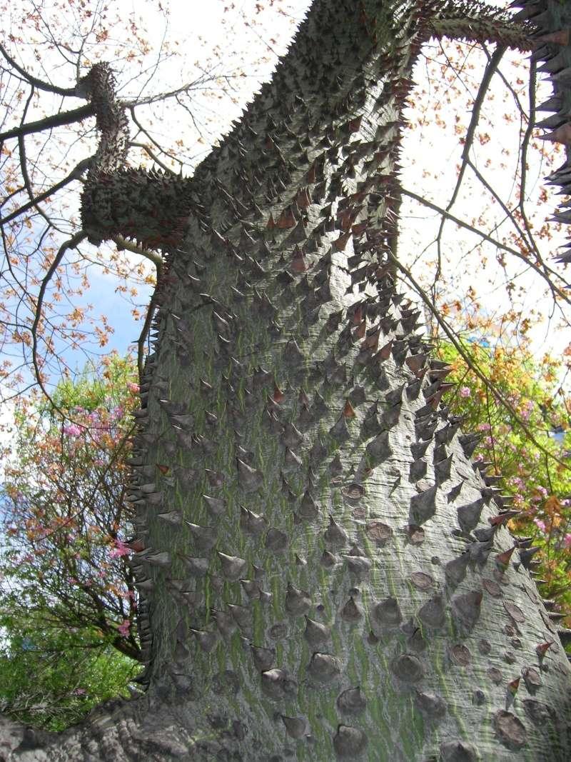 Le beau tronc de mon Chorisia speciosa  - Page 4 100_1611