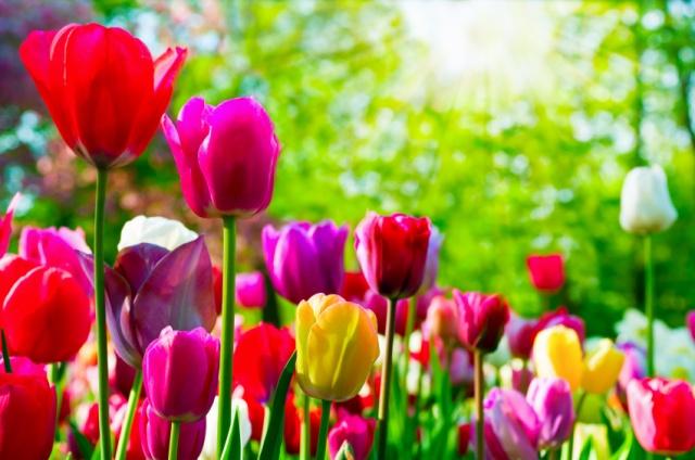 Nos amies les fleurs (Symbolisme) - Page 6 Tulipe12
