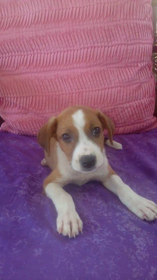 SCOOBY chiot bicolore - GUADELOUPE 13062410
