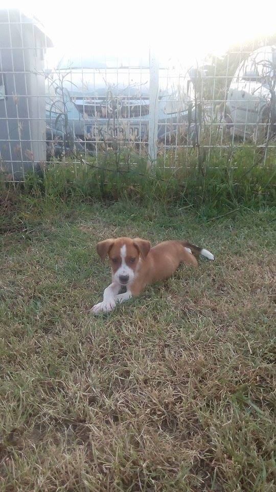 SCOOBY chiot bicolore - GUADELOUPE 13102610