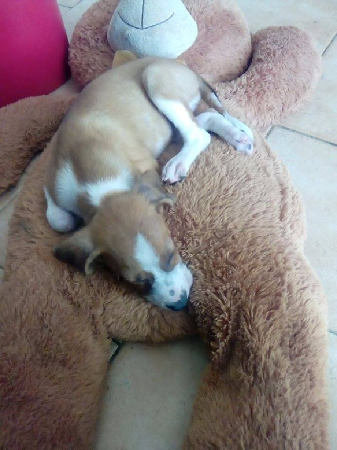 SCOOBY chiot bicolore - GUADELOUPE 13150012