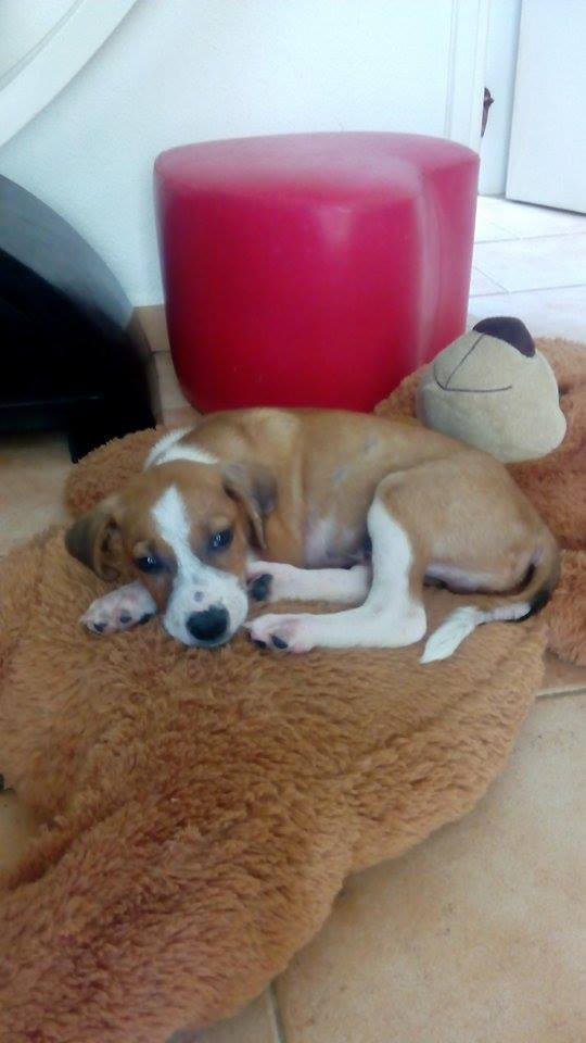 SCOOBY chiot bicolore - GUADELOUPE 13187810