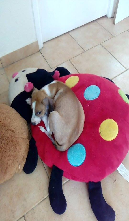 SCOOBY chiot bicolore - GUADELOUPE 13249310