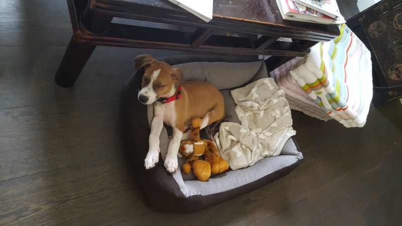 SCOOBY chiot bicolore - GUADELOUPE 20160516