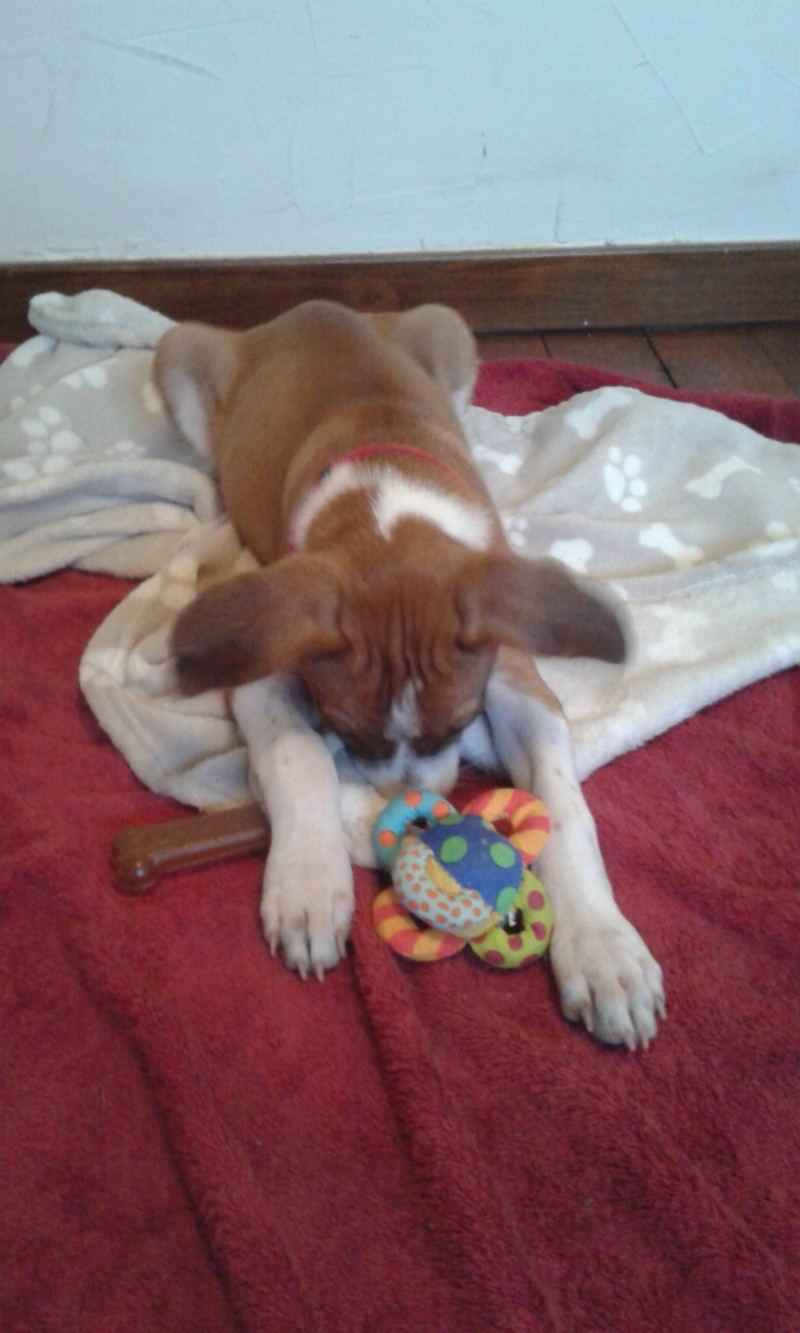 SCOOBY chiot bicolore - GUADELOUPE 20160517