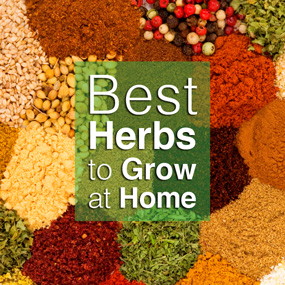 Best Herbs To Grow At Home 285x2810