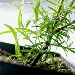 Best Herbs To Grow At Home Rosema11