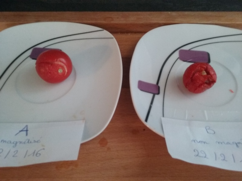 magnétisation des tomates 20160313