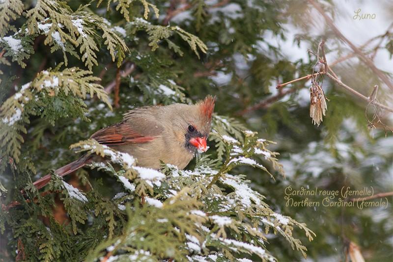 Cardinal rouge Img_9810