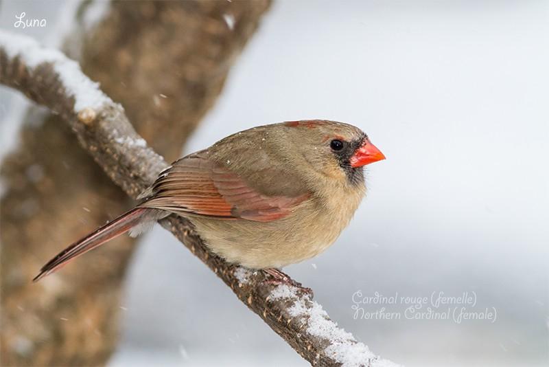 Cardinal rouge Img_9811