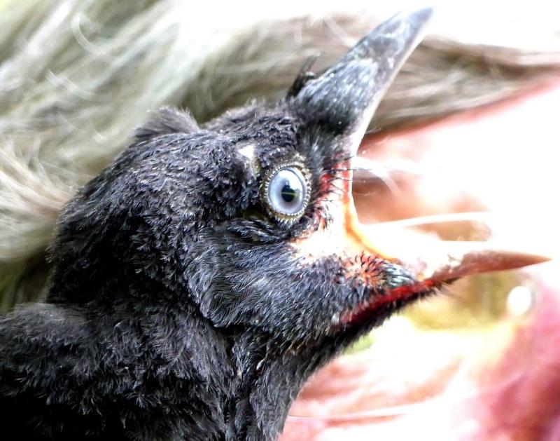 Bébé corneille ou corbeau P1120413