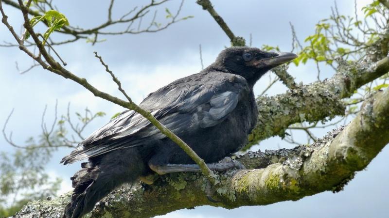 Bébé corneille ou corbeau P1120414