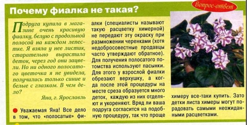 узамбарская фиалка или сенполия 000210